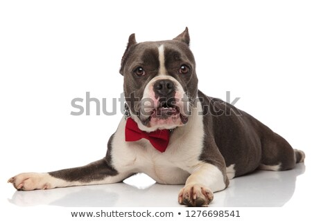 adorable american bully wearing red bowtie lying with teeth expo Stock photo © feedough