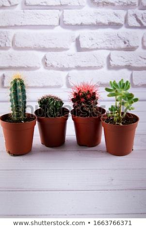 Kicsi kaktusz nedvdús növények különböző modern Stock fotó © Lana_M