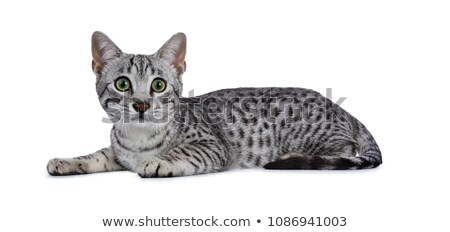 Cute silver spotted Egyptian Mau cat kitten Laying down side ways with yellow feather toy in front p Stock photo © CatchyImages