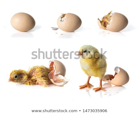 Chick witte vogel kip boerderij studio Stockfoto © cynoclub