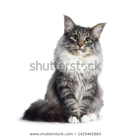 Cute Norwegian Forestcat on white Stock photo © CatchyImages