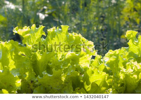 салата · растущий · почвы · весны · природы · зеленый - Сток-фото © romvo