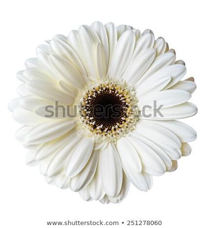 Daisy изолированный белый Top мнение Сток-фото © StephanieFrey