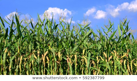 Field of ripe corn Stock photo © nomadsoul1