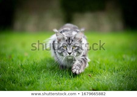 Kedi avcılık çayır çim Stok fotoğraf © pixelman