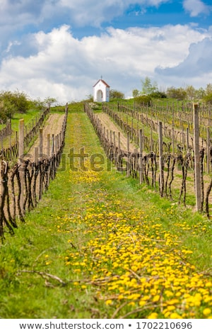 vineyard hnanice czech republic stock photo © phbcz
