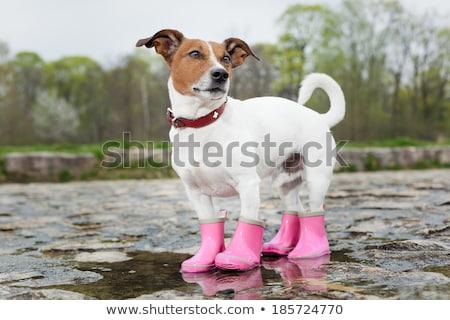 Rosa perros botas blanco fondo perro Foto stock © olira