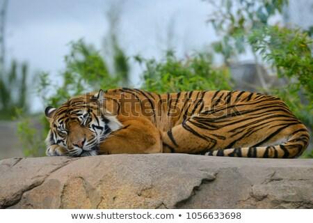 тигр спать кошки Азии сильный Сток-фото © pinkblue