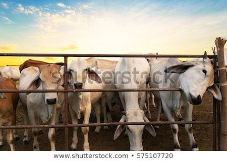 Inekler avustralya kırsal sahne kırsal çalı sahne Stok fotoğraf © byjenjen