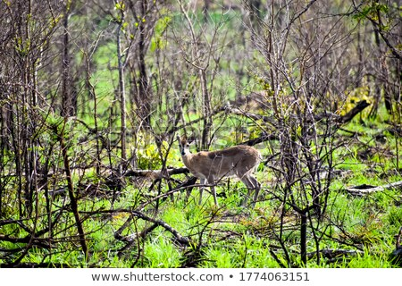 Stock photo: Duiker - Shy antelope from the wilds of Africa