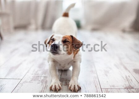 dog stretched out Stock photo © willeecole