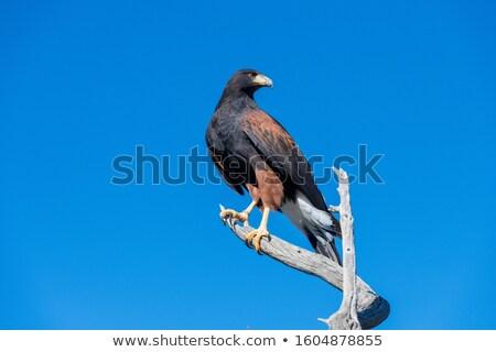 Falcão voador céu natureza aves Foto stock © Nejron