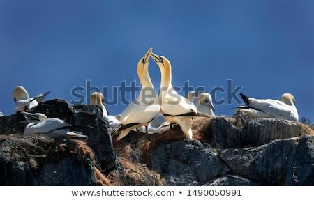 Flying Northern gannet Stock photo © tilo