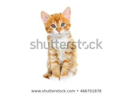 Beyaz turuncu kedi yavrusu ayakta bebek kedi Stok fotoğraf © dnsphotography