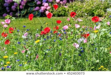 красочный · Полевые · цветы · луговой · красивой · весны · трава - Сток-фото © meinzahn