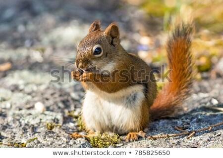 american red squirrel tamiasciurus hudsonicus stock photo © broker