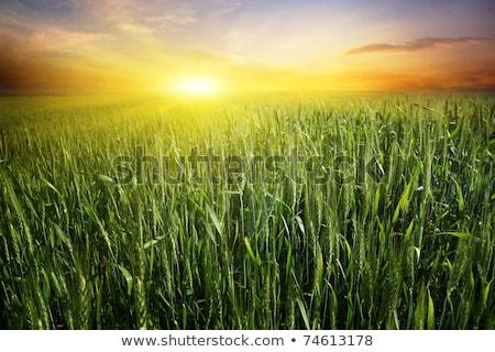 verde · campo · di · grano · rosolare · suolo · cielo · blu · prospettiva - foto d'archivio © hraska