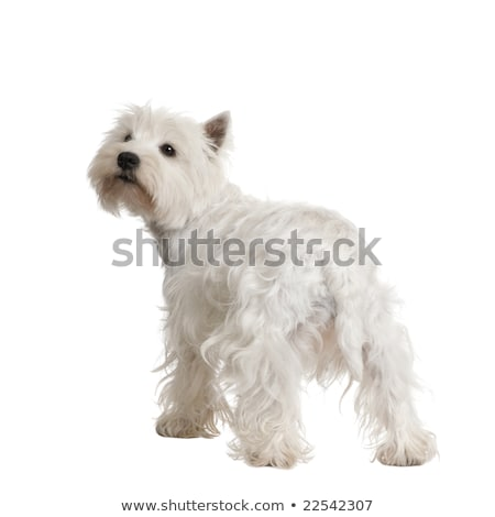 West Highland White Terrier studio portrait with ewhite backgrou Stock photo © vauvau