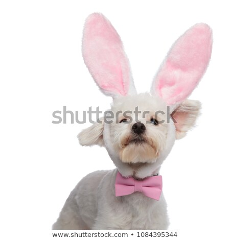 curious classy bichon with bunny ears looking up stock photo © feedough