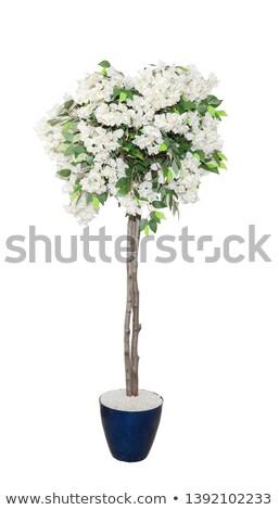 Stieg Topf isoliert home Blume flora Stock foto © popaukropa