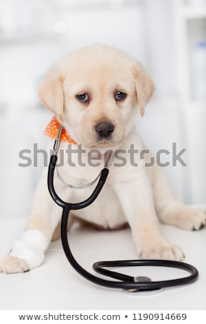 Cute labrador puppy dog with a bandage on its paw wearing a stet stock photo © ilona75