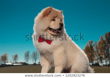 adorable chow chow puppy dog looks back over its shoulder Stock photo © feedough