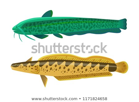 rainbow trout and wels catfish vector illustration stock photo © robuart