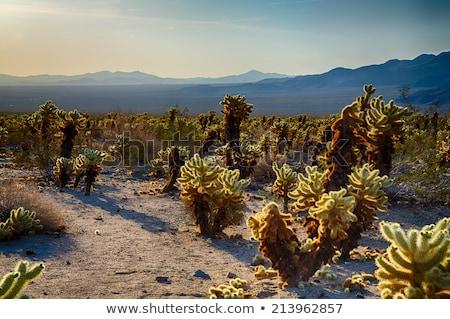 Mojave Yucca blossoms Stock photo © backyardproductions