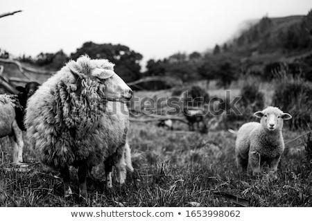 Fehér bárány zöld legelő sétál farm Stock fotó © taviphoto