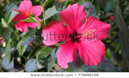 Hibiscus in the Sunlight  Stock photo © 2tun