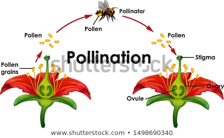 Diagram showing pollination with flower and bee Stock photo © bluering