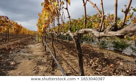 Vineyard after harvest Stock photo © lichtmeister