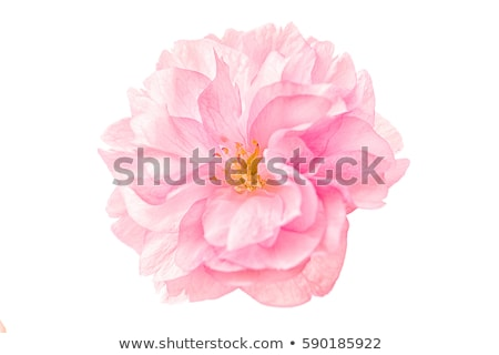 Pink flowering cherry branch Stock photo © Artspace