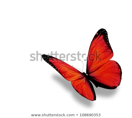 Flying black and red morpho Stock photo © blackmoon979