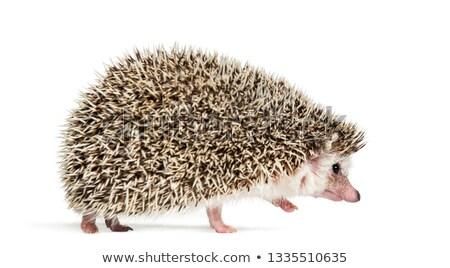 hedgehog walking away Stock photo © prill