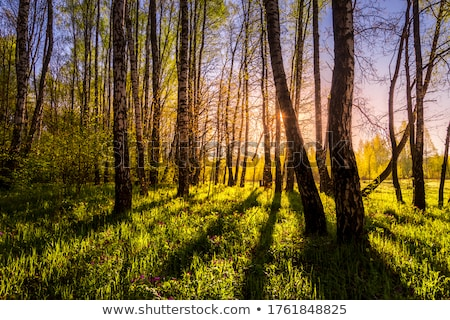 Stock photo: Spring in birch forest