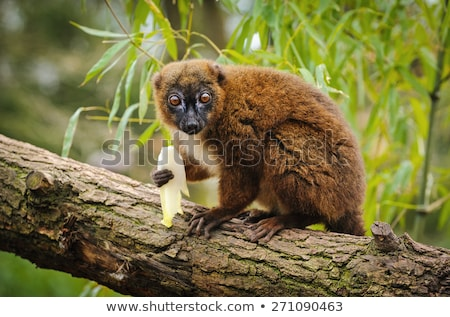 The Red-bellied Lemur Stock photo © njaj