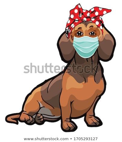 dachshund standing stock photo © willeecole