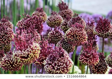 Piros bor virág természet növény villanykörte Stock fotó © chris2766