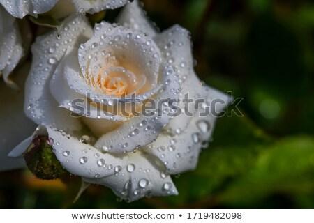 white petals closeup Stock photo © prill