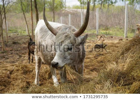 big goat eating hay  Stock photo © OleksandrO