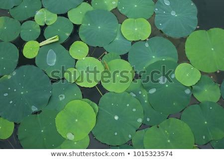 Luminoso verde Lotus foglia bellezza estate Foto d'archivio © rufous