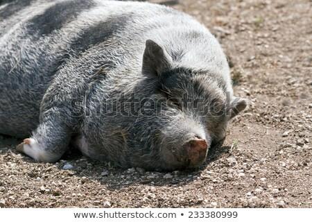 Alszik disznó sár haszonállat álmos malac Stock fotó © popaukropa