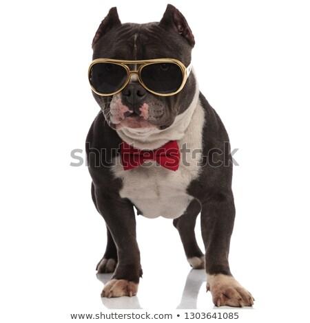 classy american bully wearing gold sunglasses standing Stock photo © feedough