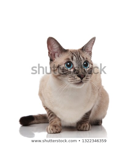 surprised grey metis cat sits and looks up to side Stock photo © feedough