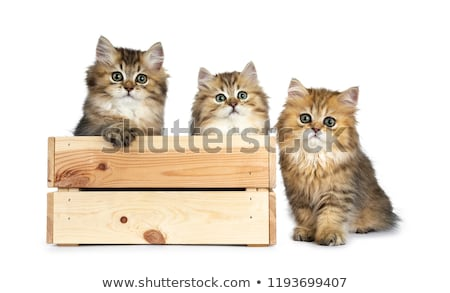 Three fluffy golden British Longhair cat kittens isolated on white background Stock photo © CatchyImages