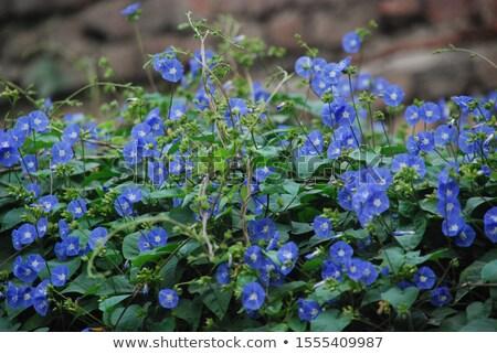 Manhã glória azul cor ilustração flor Foto stock © colematt