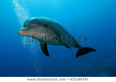 Bottlenose dolphin Stock photo © trexec