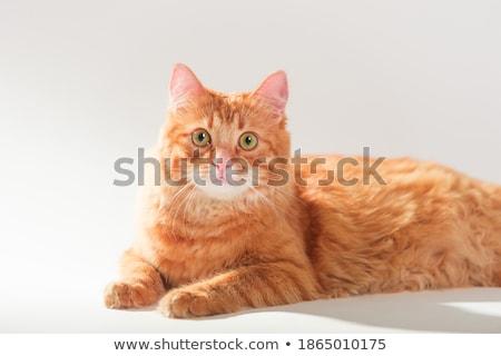 Cute imbir kotek biały tabeli patrząc Zdjęcia stock © ilona75