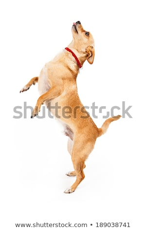 An adorable mixed breed dog standing on hind legs Stock photo © vauvau